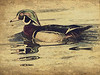 Wood Duck Drawing