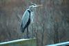 Posing Heron
