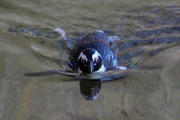 Penguin -- Baltimore Zoo