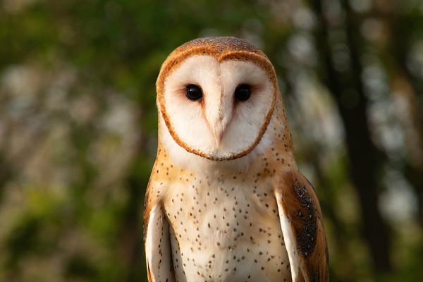 Cute Little Barn Owl