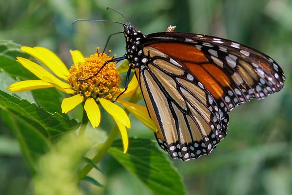 Monarch Butterfly ... Danaus Plexippus