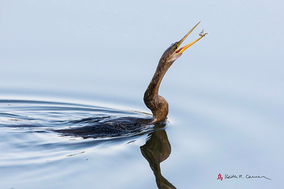 Anhinga with prey
