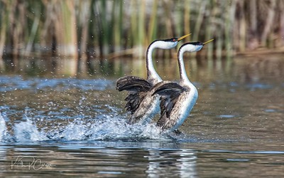Western grebes in rushing dance