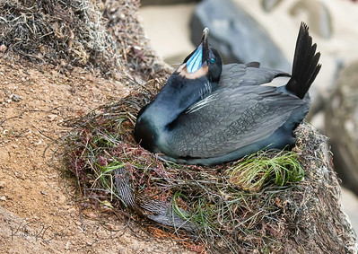 Brandt's cormorant on nest