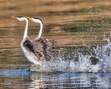 Rushing Clark's grebes