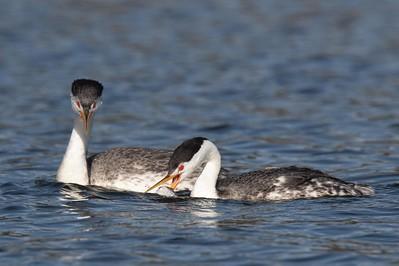 Clark's grebe pair, fish handoff