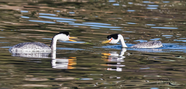Clark's grebes mating pair