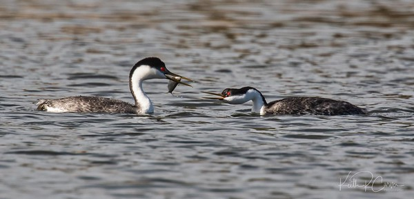 Western grebe hands off fish to mate