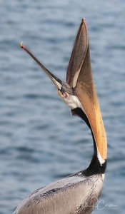 Brown pelican head throw