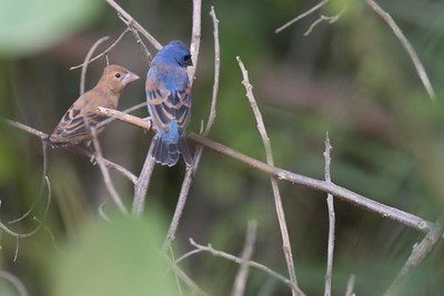 Blue grosbeak, male and female
