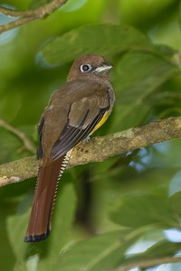 Black-throated trogon, female