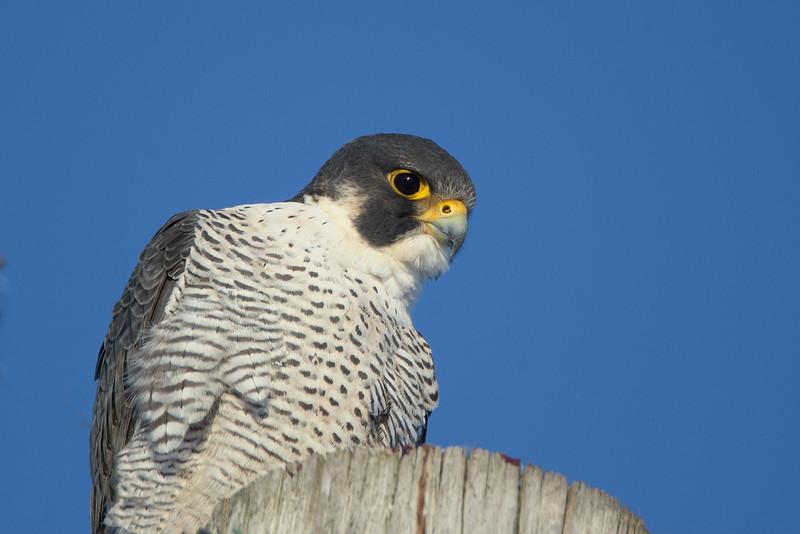 Peregrine Falcon, Hadley, Feb. 6, 2014