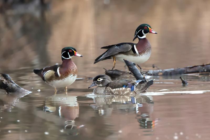 Wood Ducks, Longmeadow, Mar. 14, 2014