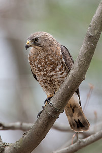 Broad-wing Hawk, Belchertown, May 4, 2014