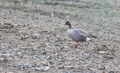 Pink-footed Goose, Hadley, Mar. 27, 2014