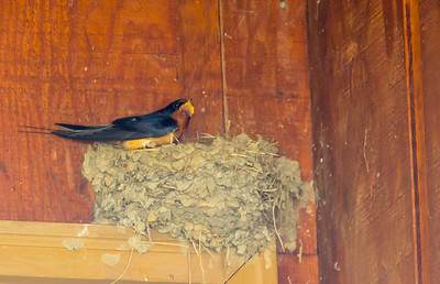 Barn Swallow, Hadley, May 8, 2014