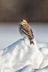 Snow Bunting, Hadley, Feb. 10,2014