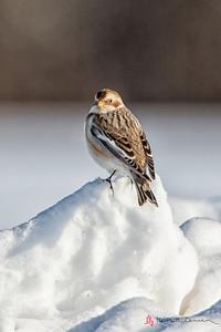 Snow Bunting, Hadley, Feb. 10,2014