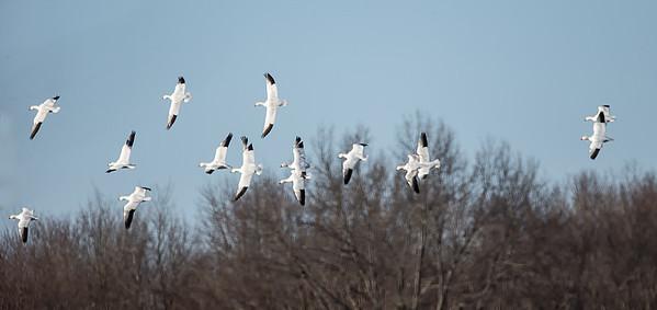 Snow Geese, Hatfield, Mar. 24, 2014