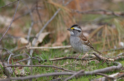 White-throated Sparrow, Amherst, May 29, 2014