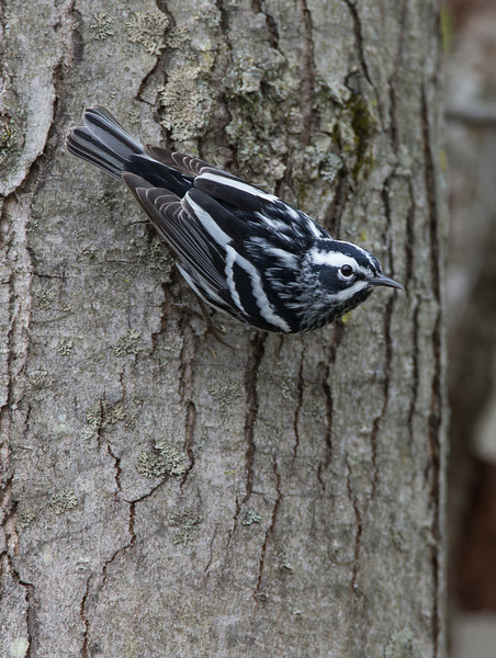 Black and White Warbler, Amherst, May 8, 2014