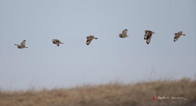 Short-eared Owl Flight Sequence