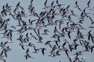 Black Skimmer  flock flailing the air