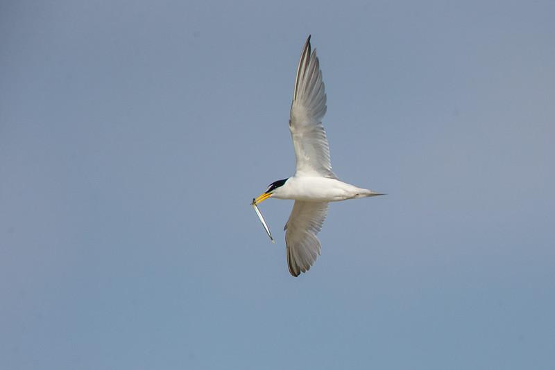 Least Tern with sandlance