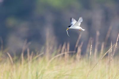 Least Tern bringing sand lance to nest