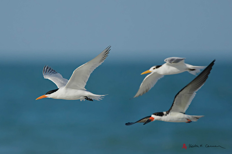 Royal Terns (adult, left and juvenile, right) and Black Skimmer