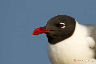 Laughing Gull, breeding plumage