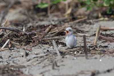 Least Tern chick begging