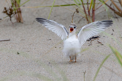 Begging Least Tern chick