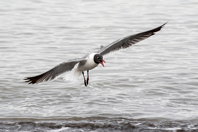 Laughing gull, Reeds Beach, Cape May, NJ, May 21, 2016