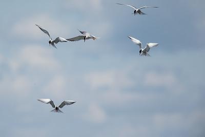 Common Terns gang fishing