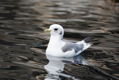 Black-legged kittiwake, Seward, Alaska, May 20, 2015
