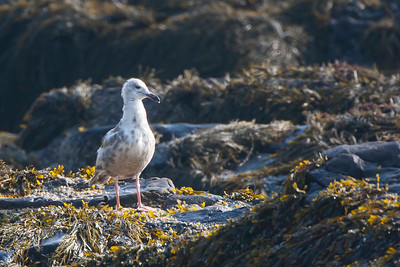 1st-year Great black-backed gull, heavily molted