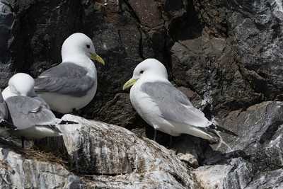 Mew gulls roosting, Resurrection Bay, Alaska, May 21, 2015