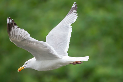 Herring gull, adult breeding, Damariscotta Mills, Maine, June 16, 2008