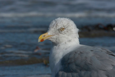 Herring gull, non-breeding, Popham Beach, Maine, September 10, 2009