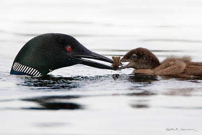 Loon feeds crawfish to chick