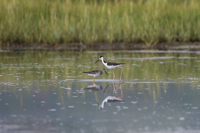 Black-necked stilt, comparison to Greater yellowlegs
