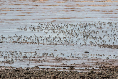 As the tide recedes further, the sandpipers fan out to feed on the exposed mudflats