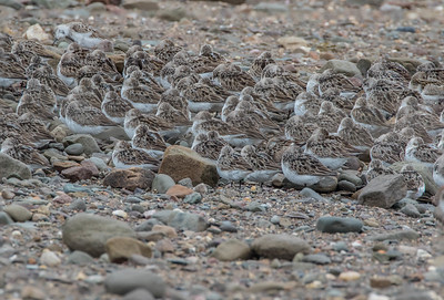 Roosting Adult Semipalmated Sandpipers