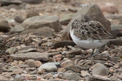 Roosting Adult Semipalmated Sandpiper