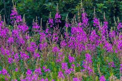 Fireweed blooms peak in mid-August