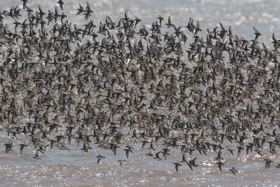 A flock of about 10,000 Semipalmated Sandpipers on the wing, dorsal view