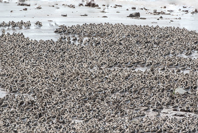 Large mass of roosting Semipalmated Sandpipers