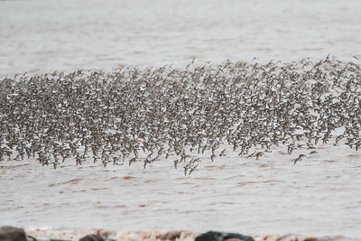 Over 20,000 Semipalmated Sandpipers on the wing
