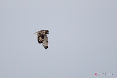 Short-eared Owl flight - wings down